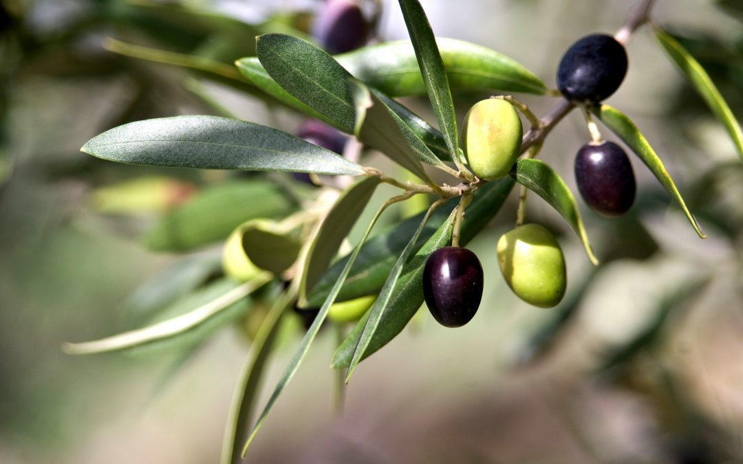 Repilo of the olive tree