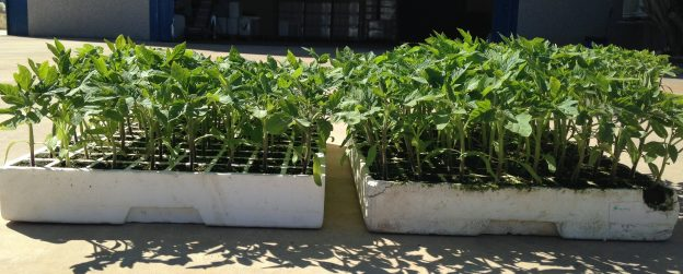 Trial in tomato crop