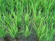Ensayos en arroz