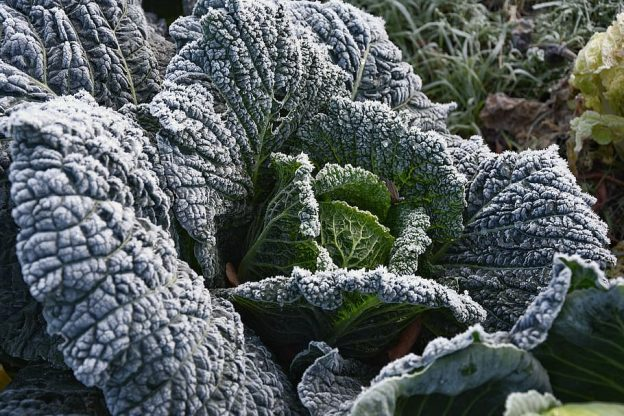 Effect of potassium fertilization against frost